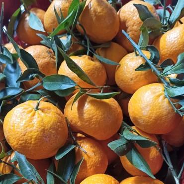 Mandarino Tardivo di...